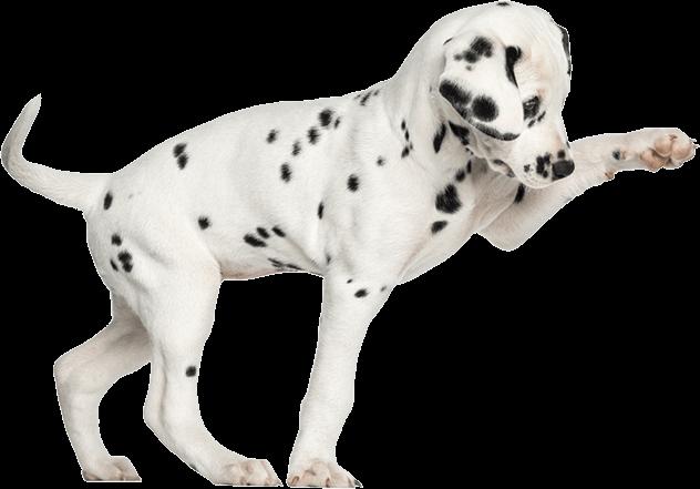 Shumksy | Spotted puppy